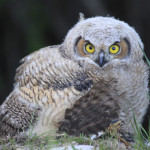 Baby horn owls