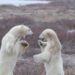 Tammy Coy Photography Churchill Polar Bears